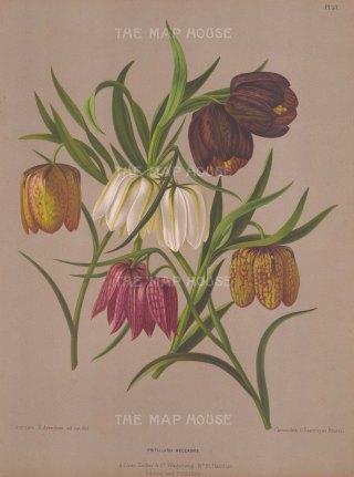 "Van Eeden: Lily. c1872. An original antique chromolithograph. 10"" x 13"". [FLORAp3044]"