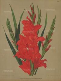 "Van Eeden: Gladiolus. 1880. An original antique chromolithograph. 10"" x 13"". [FLORAp3119]"