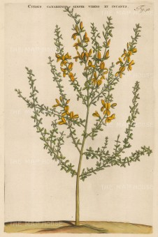 "Commelin: Canary Broom. 1697. A hand coloured original antique copper engraving. 10"" x 15"". [FLORAp3153]"