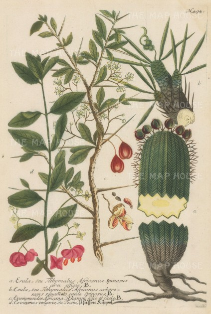 """Weinmann: Green Surge & Euonymoides Africana. 1740. An original hand coloured antique mezzotint. 9"""" x 13"""". [FLORAp3167]"""