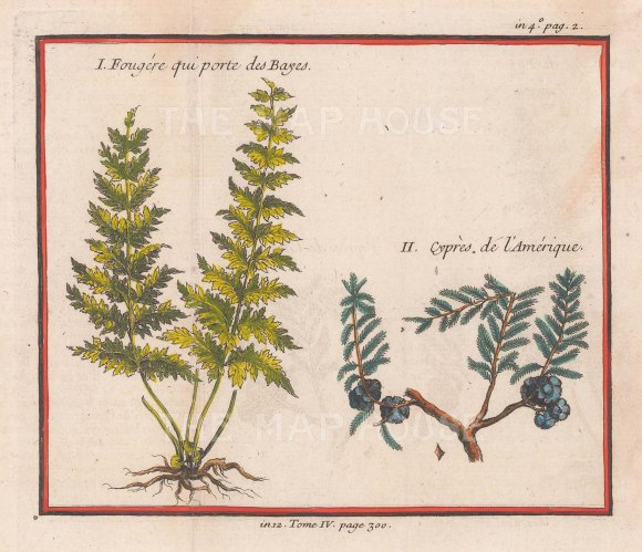 Fern from Plaisance Bay and American Cypress branch.