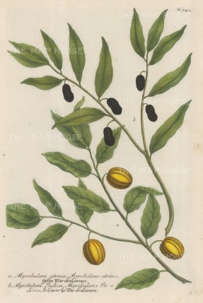 "Weinmann: Indian Myrobalan. c1735. An original colour antique mezzotint. 9"" x 14"". [FLORAp3185]"