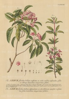 Ledum (Kalmia): Two flowering branches with detail of flower and key in Latin. Title heightened in gold.