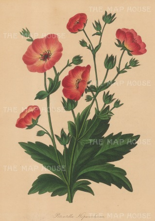 "Paxton: Cinquefoil. 1839. An original hand coloured antique lithograph. 6"" x 9"". [FLORAp3197]"