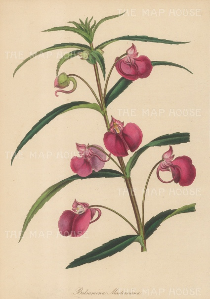 "Paxton: Master's Balsam. 1839. An original hand coloured antique lithograph. 6"" x 9"". [FLORAp3200]"
