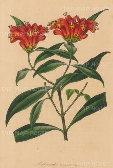 "Paxton: Many-branched Aeschynanthus. 1839. An original hand coloured antique lithograph. 6"" x 9"". [FLORAp3202]"