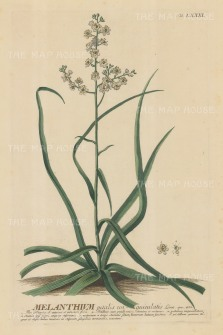 Melanthium (Bunchflower): With detail of flower and key in Latin. Title heightened in gold.