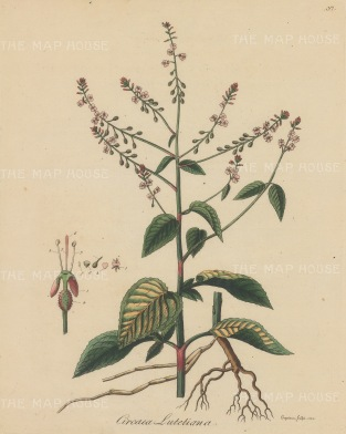 "Dreves: Enchanter's Nightshade. 1795. An original hand coloured antique copper engraving. 8"" x 10"". [FLORAp3209]"