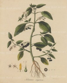 "Dreves: Common Nightshade. 1795. An original hand coloured antique copper engraving. 8"" x 10"". [FLORAp3210]"