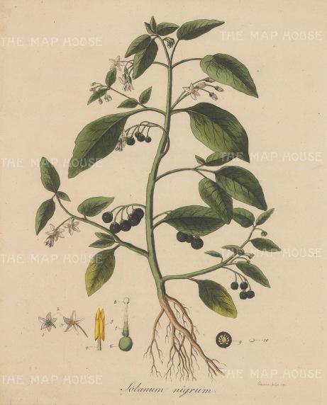 "Dreves: Common Nightshade. 1795. An original hand coloured antique copper engraving. 8"" x 10"". [FLORAp3210]"