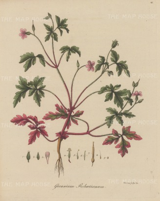 "Dreves: Herb Robert. 1795. An original hand coloured antique copper engraving. 8"" x 10"". [FLORAp3213]"