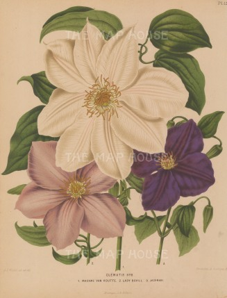 "Wendel: Clematis. 1879. An original antique chromolithograph. 9"" x 12"". [FLORAp3239]"