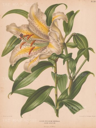 "Wendel: Lily. 1879. An original antique chromolithograph. 9"" x 12"". [FLORAp3251]"
