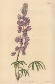 Fine leaved Lupin. By Miss Drake.
