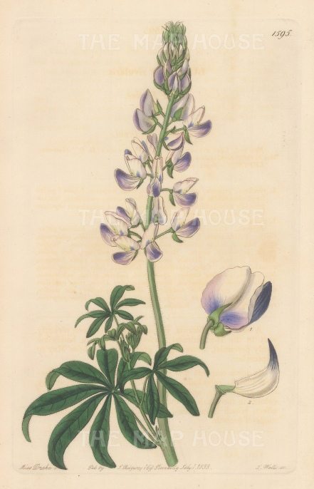 Riverbank Lupin. By Miss Drake.
