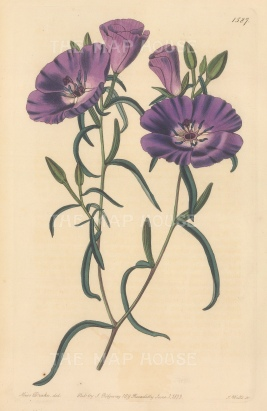"Botanical Register: Evening Primrose. 1833. An original hand coloured antique steel engraving. 6"" x 9"". [FLORAp3289]"