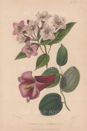 "Thompson: Chilean Bell Flower. 1859. An original hand coloured antique lithograph. 5"" x 7"". [FLORAp3299]"