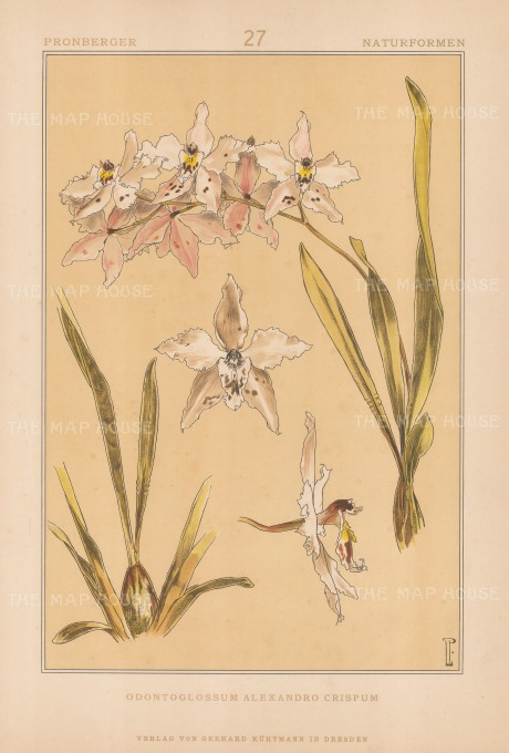 "Vellmer: Orchid. c1890. An original colour antique chromolithograph. 14"" x 20"". [FLORAp3305]"