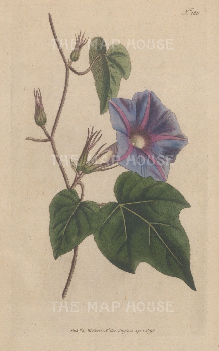 "Curtis: Greater Purple Bindeweed. 1795. An original hand coloured antique copper engraving. 5"" x 8"". [FLORAp3312]"