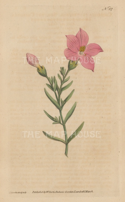 "Curtis: Shrubby Chironia. 1795. An original hand coloured antique copper engraving. 5"" x 8"". [FLORAp3314]"