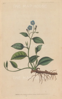 "Curtis: Blue Navelwort. 1795. An original hand coloured antique copper engraving. 5"" x 8"". [FLORAp3315]"