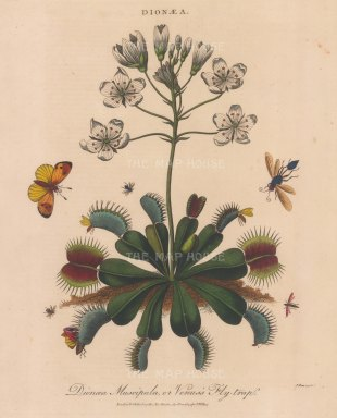 "Wilkes: Venus Fly Trap (Dionaea Muscipula). 1810. An original hand coloured antique copper engraving. 8"" x 10"". [FLORAp3332]"
