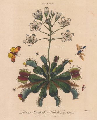 "RESERVEDWilkes: Venus Fly Trap (Dionaea Muscipula). 1810. An original hand coloured antique copper engraving. 8"" x 10"". [FLORAp3332]"