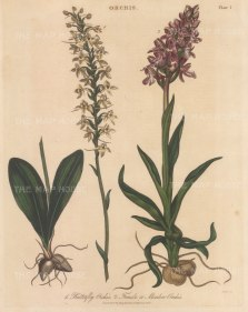 "Wilkes: Butterfly Orchid and Meadow Orchid. 1810. An original hand coloured antique copper engraving. 8"" x 11"". [FLORAp3334]"