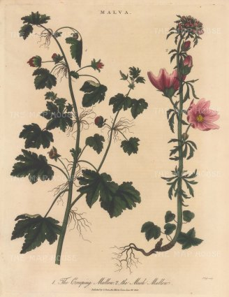 "Wilkes: Creeping Mallow and Musk Malow. 1815. An original hand coloured antique copper engraving. 8"" x 11"". [FLORAp3335]"