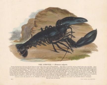 """SPCK: Lobster. c1860. An original hand coloured antique wood engraving. 12"""" x 10"""". [NATHISp7786]"""