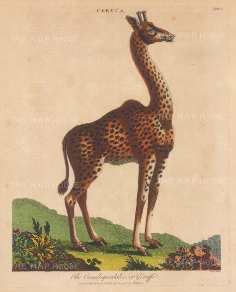 Giraffe (Cervus): Cameleopard. Engraved by John Pass.