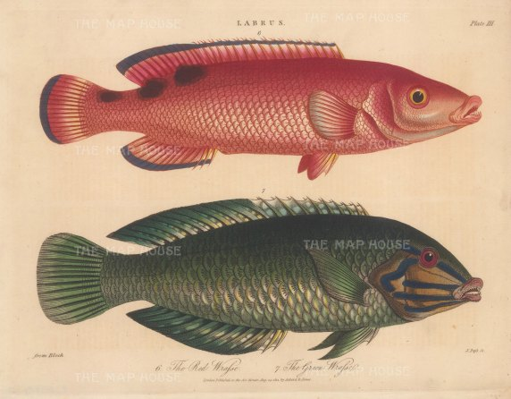 Wrasse (Labrus): Red Wrasse and Green Wrasse. After Marcus Bloch. Engraved by John Pass.