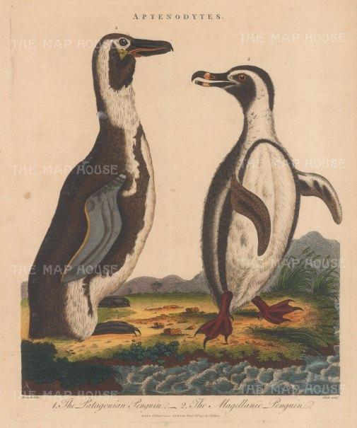 Penguin (Aptenodytes): Patagonian Penguin and Magellanic Penguin. After George Edwards. Engraved by John Pass.