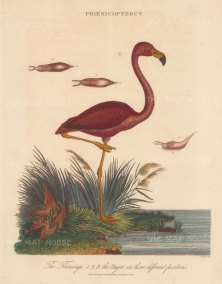 Flamingo (Phoenicopterus): With three details of its tongue. Engraved by John Pass.