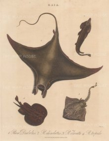 Ray: Devil Ray, Guitarfish, Thornback and Electric Ray. Engraved by John Pass.