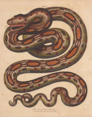 Boa Constrictor: Red tailed Boa. After Albertus Seba. Engraved by John Pass.