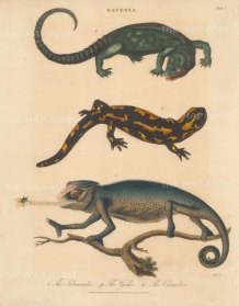 Lizards (Lacerta): Chameleon, Geeko and Salamander. Engraved by John Pass.