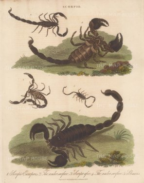 Scorpion (Scorpio): European, Black and Linear Scorpions. Engraved by John Pass.