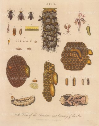 Bees (Apis): Queen, drone and worker 1-3, details of legs 5-6, Combs 7,8,9,21, stinger 10, ovary 11, eggs to larvae 12-17, larvae to nymph 18-20. Engraved by John Pass.