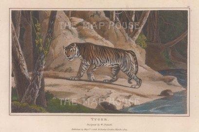 "Daniell: Tiger. 1807. A hand coloured original colour antique aquatint. 7"" x 4"". [NATHISp7864]"