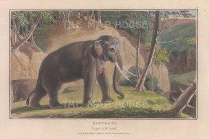"""Daniell: Asian Elephant. 1807. A hand coloured original colour antique aquatint. 7"""" x 4"""". [NATHISp7865]"""