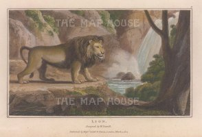 "Daniell: Lion. 1807. A hand coloured original colour antique aquatint. 7"" x 4"". [NATHISp7866]"