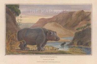 """Daniell: Hippopotamus. 1807. A hand coloured original colour antique aquatint. 7"""" x 4"""". [NATHISp7867]"""
