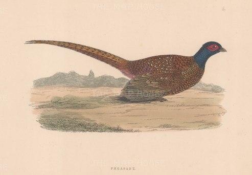 """Morris: Pheasant. 1897. An original hand coloured antique wood engraving. 8"""" x 5"""". [FIELDp1573]"""