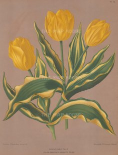 Tulips: Single Early Tulip. Yellow Prince with variegated foliage.