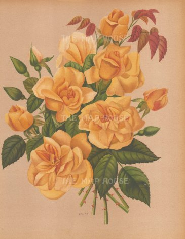 "Harriot: Roses. 1904. An original antique chromolithograph. 9"" x 11"". [FLORAp2973]"