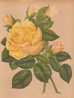 "Harriot: Roses. 1904. An original antique chromolithography. 9"" x 12"". [FLORAp2975]"
