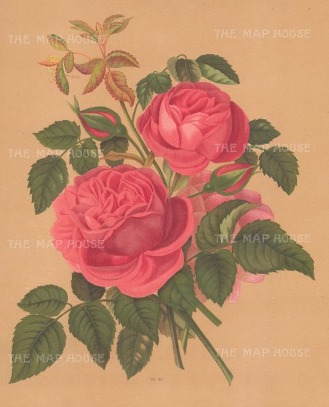 "Harriot: Roses. 1904. An original antique chromolithograph. 9"" x 12"". [FLORAp2976]"