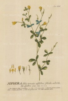 Sophora (Sun King): With detail of the flower and key in Latin. Title heightened in gold.