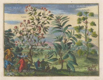 Sambak (Jasmine): With Semsem (Sesame) and Abelmosch (Hibiscus).